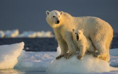 Polar bear stands with it's child on melted piece of ice. Territory loss comes from increasing ocean temperatures.