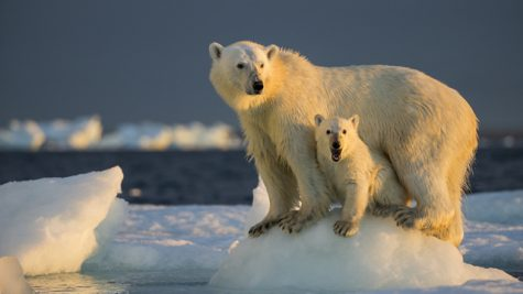Polar bear stands with it